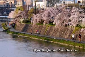 Spring sakura along the Kamo River