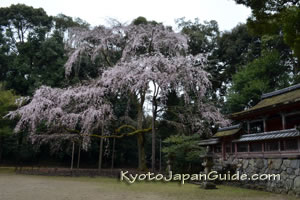 Weeping cherry tree and temple