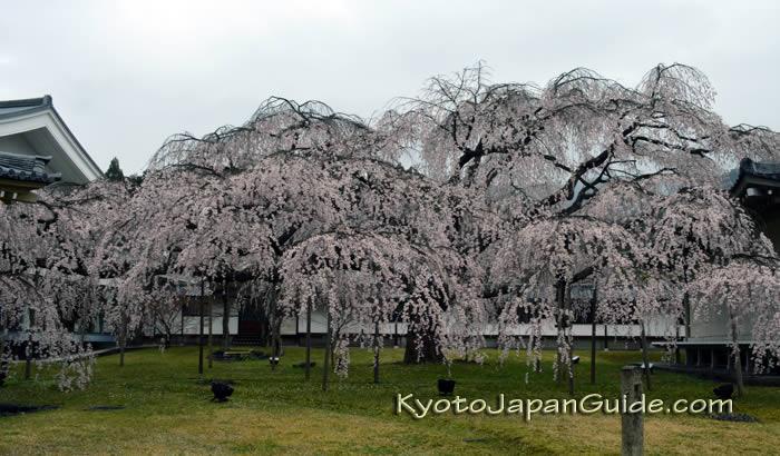 Weeping cherry tree at Daigoji