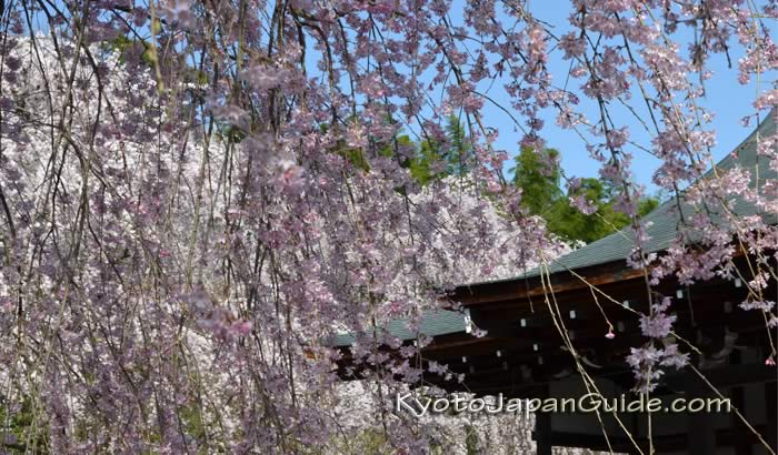 Weeping sakura and temple roof