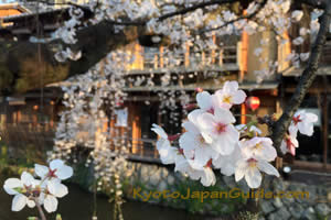 Cherry blossoms and restaurant window 013