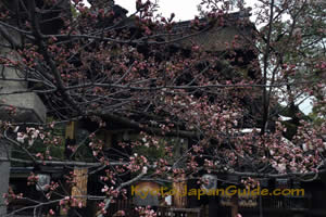Cherry blossoms at temple 023