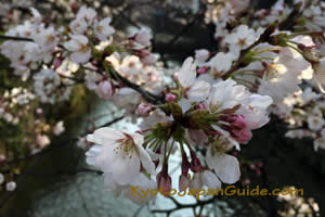 Sakura blossoms and stream 011
