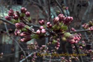 Sakura buds 032