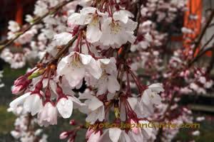 Weeping sakura at Shrine 007