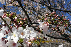 60 percent sakura blossoms 011