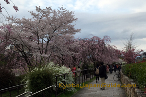 Cherry blossoms at Gion Shijo Station 063