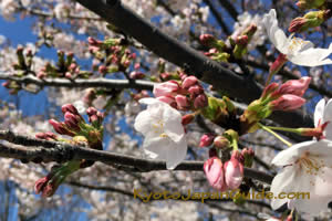 Cherry blossoms not fully open 013