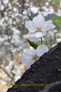Cherry blossoms on dark limb 011