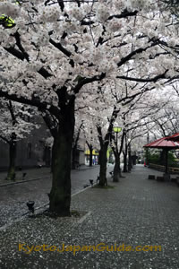 Gion cherry blossoms 011
