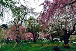Kyoto Botanical Garden cherry trees 045