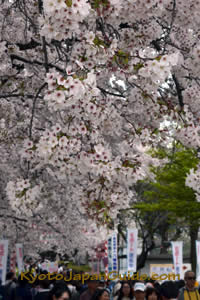 More cherry blossoms than people 051