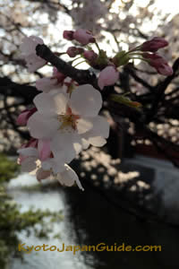 Morning light on cherry blossom 003