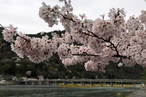 Sakura and Bridge in Arashiyama 033