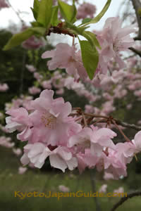 Sakura and Green Leaves 065