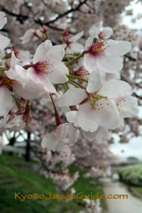 Sakura blossoms along the river 017
