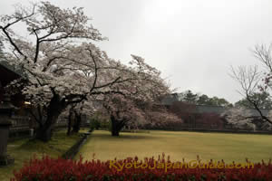 Sakura in Nara 001