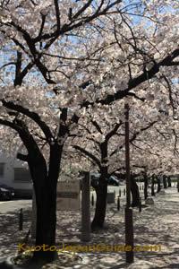 Small park sakura trees 001
