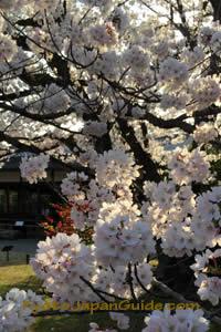 Sunlight through sakura 001