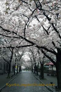 Tatsumi-dori Street peak sakura 015