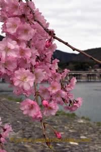 Weeping Sakura and Bridge 043