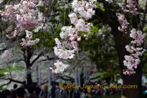 Weeping Sakura at Yodogawa River Park 043