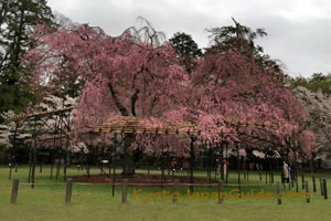 Weeping cherry tree in Kamigamo Jinja Shrine 053
