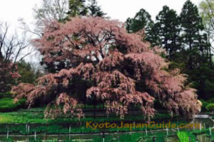 Weeping sakura Kyoto Botanical Garden 047