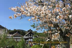 White sakura in front of Tenryu-ji Temple 047