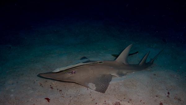 "guitar shark found at 38 meters at ""Fish Head"""