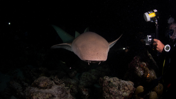 diving with nurse sharks at Alimatha Jetty, thrilling experience