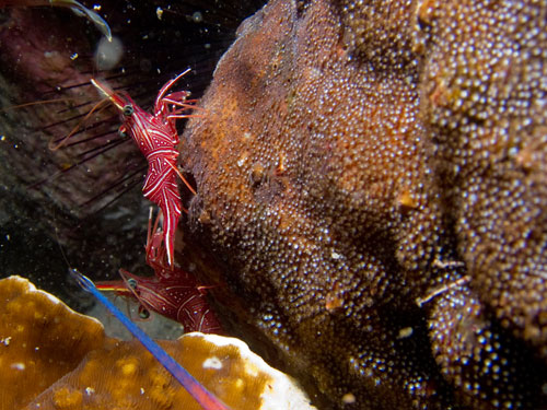 red shrimp among the corals