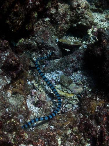 sea snake, Koh Bon