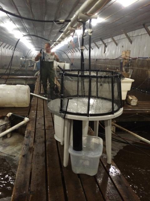 Table de récolte des crevettes chez First Ontario Shrimp.