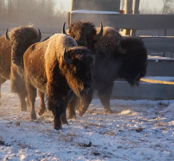 On peut profiter de l'entrée gratuite dans les parcs nationaux en 2017 pour observer des bisons en liberté dans sept différents sites. On peut les observer virtuellement grâce aux caméras de Explore.org dans le Parc national des Prairies. En voici rassemblés au Parc national Elk Island pour des contrôles. (Photo: Parcs Canada)