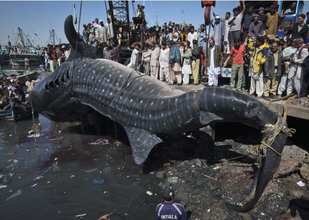 Bizarre: Giant Whale Shark Washes Ashore In Pak
