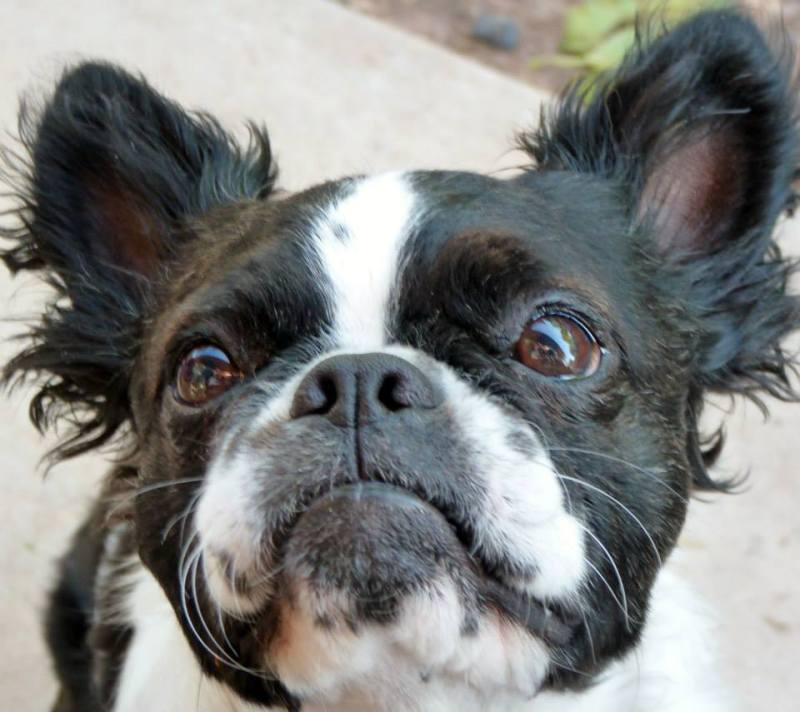 Elegant Meko Long Hair Meet A Sorta Boston Terrier Boston Terrier