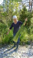 La récolte de la molinie à la faucille