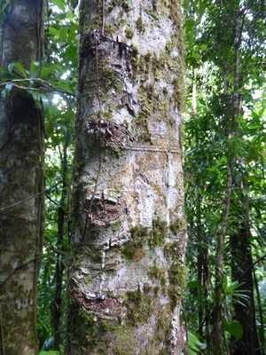 Sur cet arbre, on voit nettement que des entailles ont été pratiquées pour récupérer l'exsudat