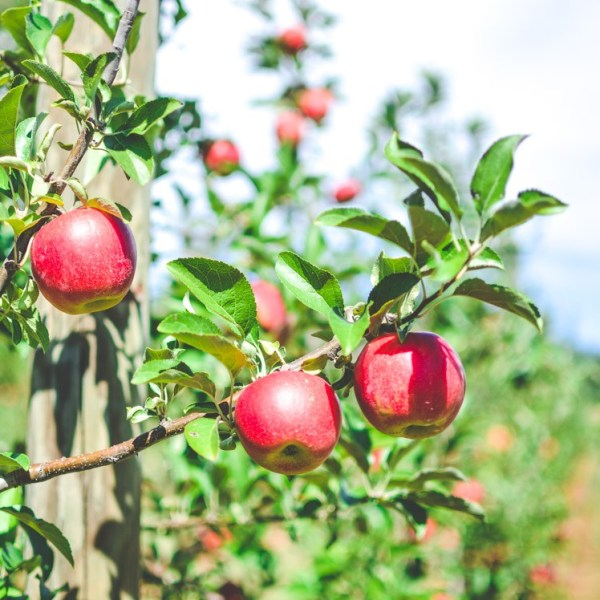 Apple Picking at Catoctin Mountain Orchard