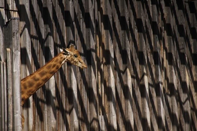 Giraphe