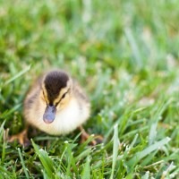 Duck Duck Goose - Scrambled Eggs