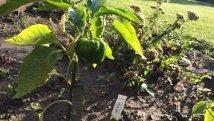 Die Paprika-Pflanzen brauchen noch eine Weile