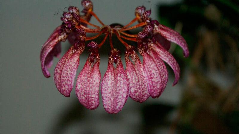 уход за орхидеей бульбофиллум