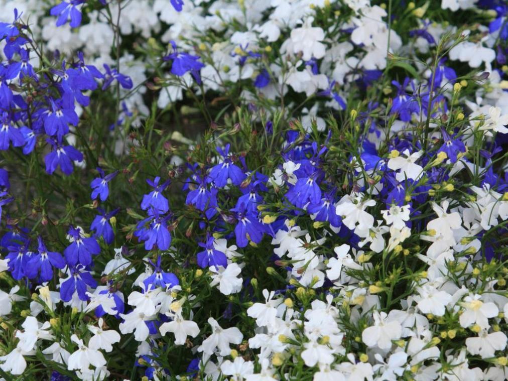 Цветок лобелия виды