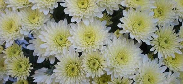 crizantema_1