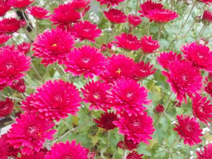 crizantema_2-1
