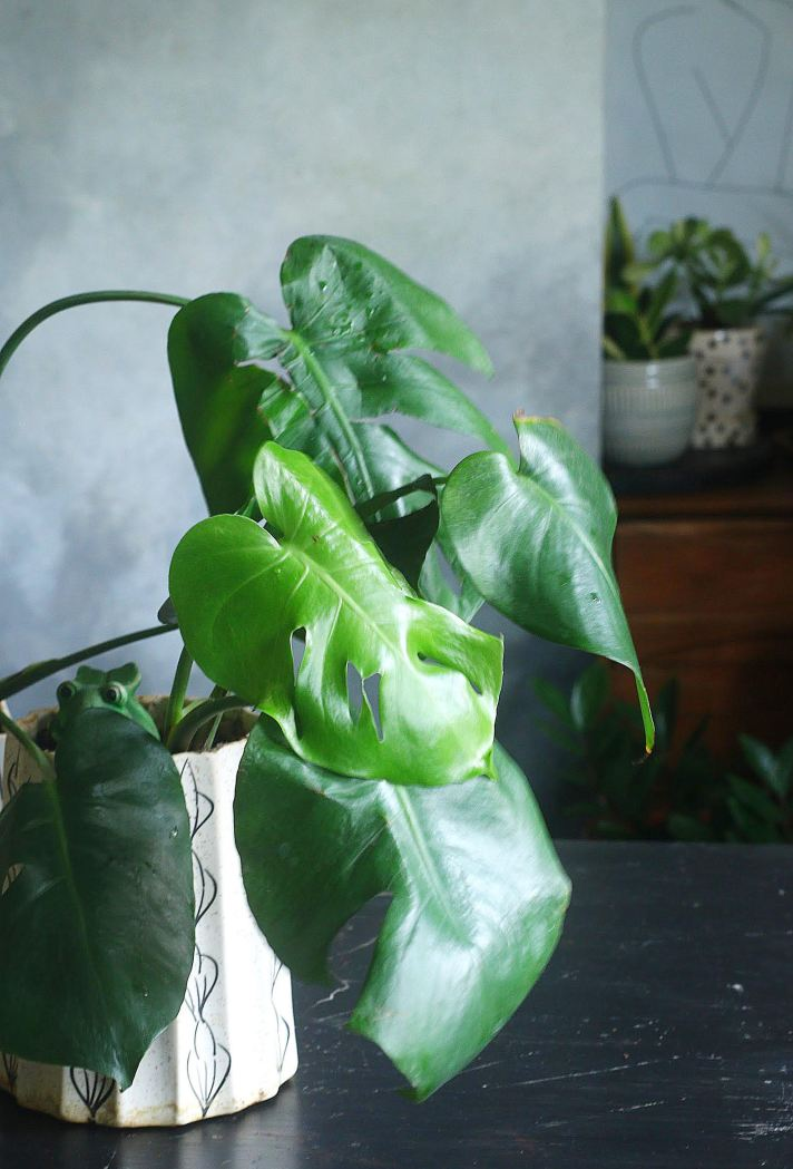 How to grow a healthy monstera