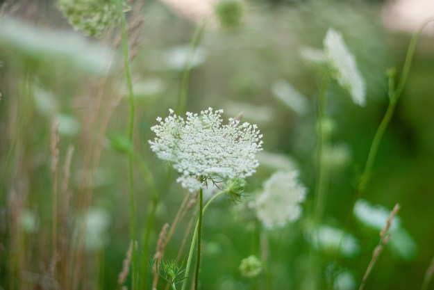 queen annes lace 2016