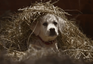 As always, the Super Bowl Budweiser ad tugs on heartstrings with their classic Clydesdales and a blonde puppy lab.